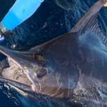Isabela Island, Galapagos Giant Blue Marlin Fishery