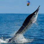 Catching All Pacific Species Of Marlin Possible In The Galapagos Islands?
