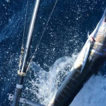 Striped Marlin Fishing The Galapagos Islands Is A Year Round Event!